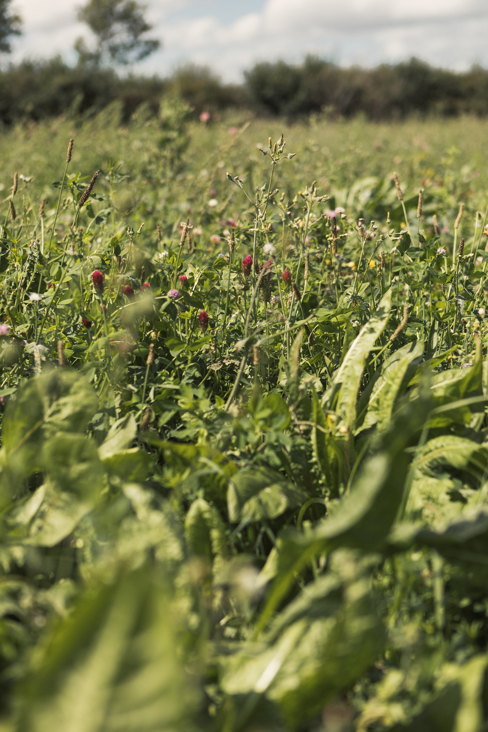 Herbal leys on George Youngs Farm