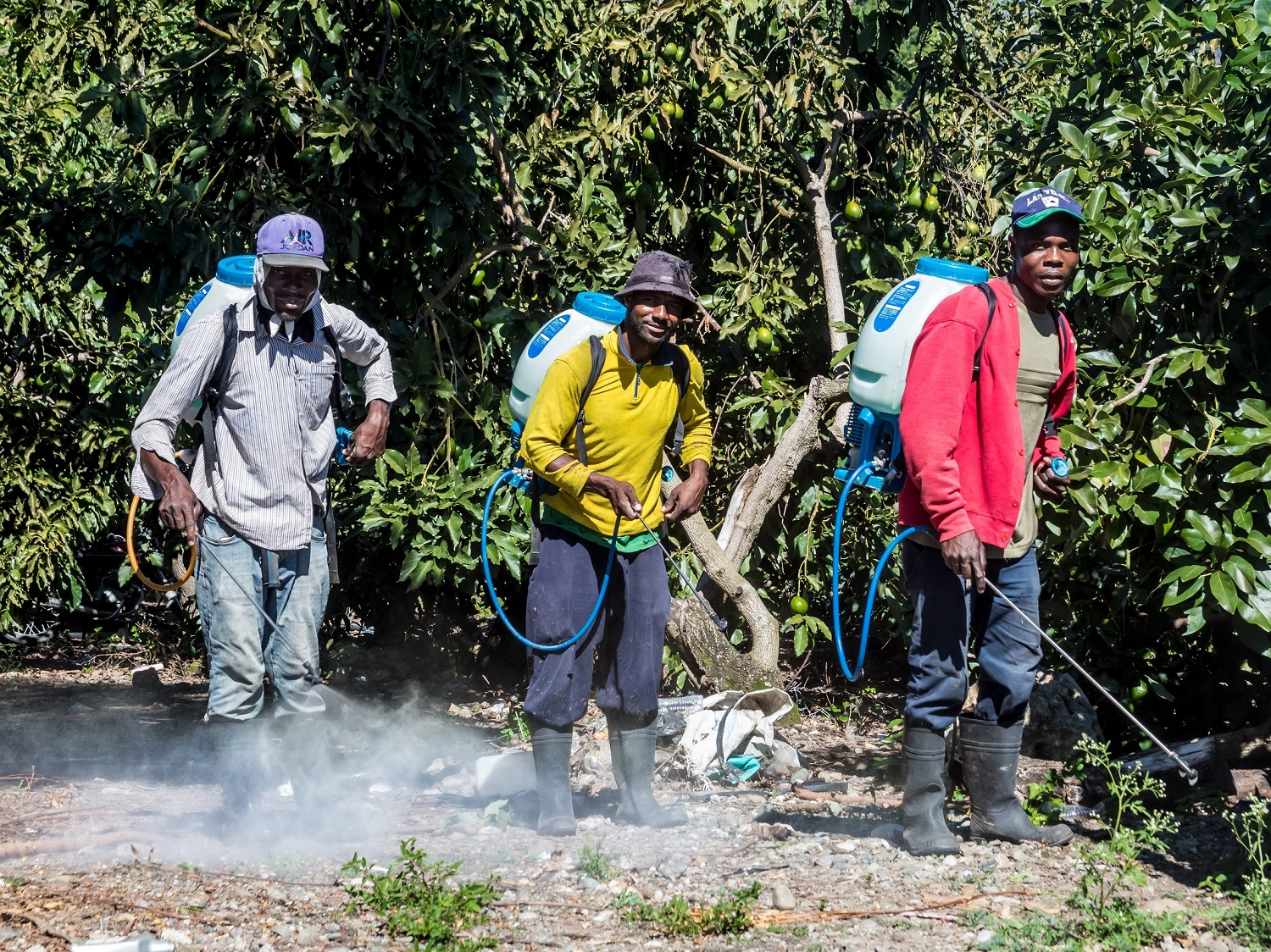 Ocoa, dominican republic. Haitian avocado farm workers spraying fields with chemicals and not wearing any protection
