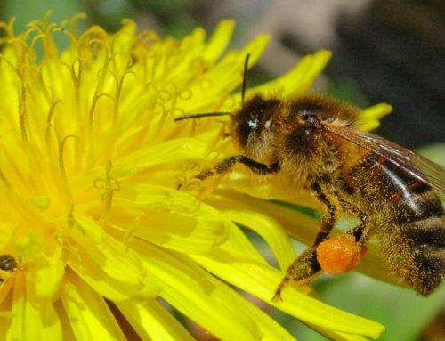 Bees Need Dandelions. People Need Bees.