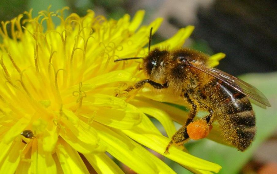 Bees Need Dandelions. People Need Bees.