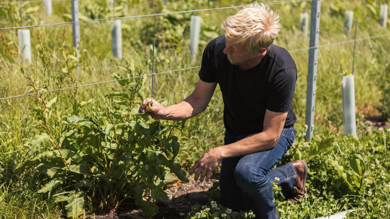 Ben examining a vine at Tillingham