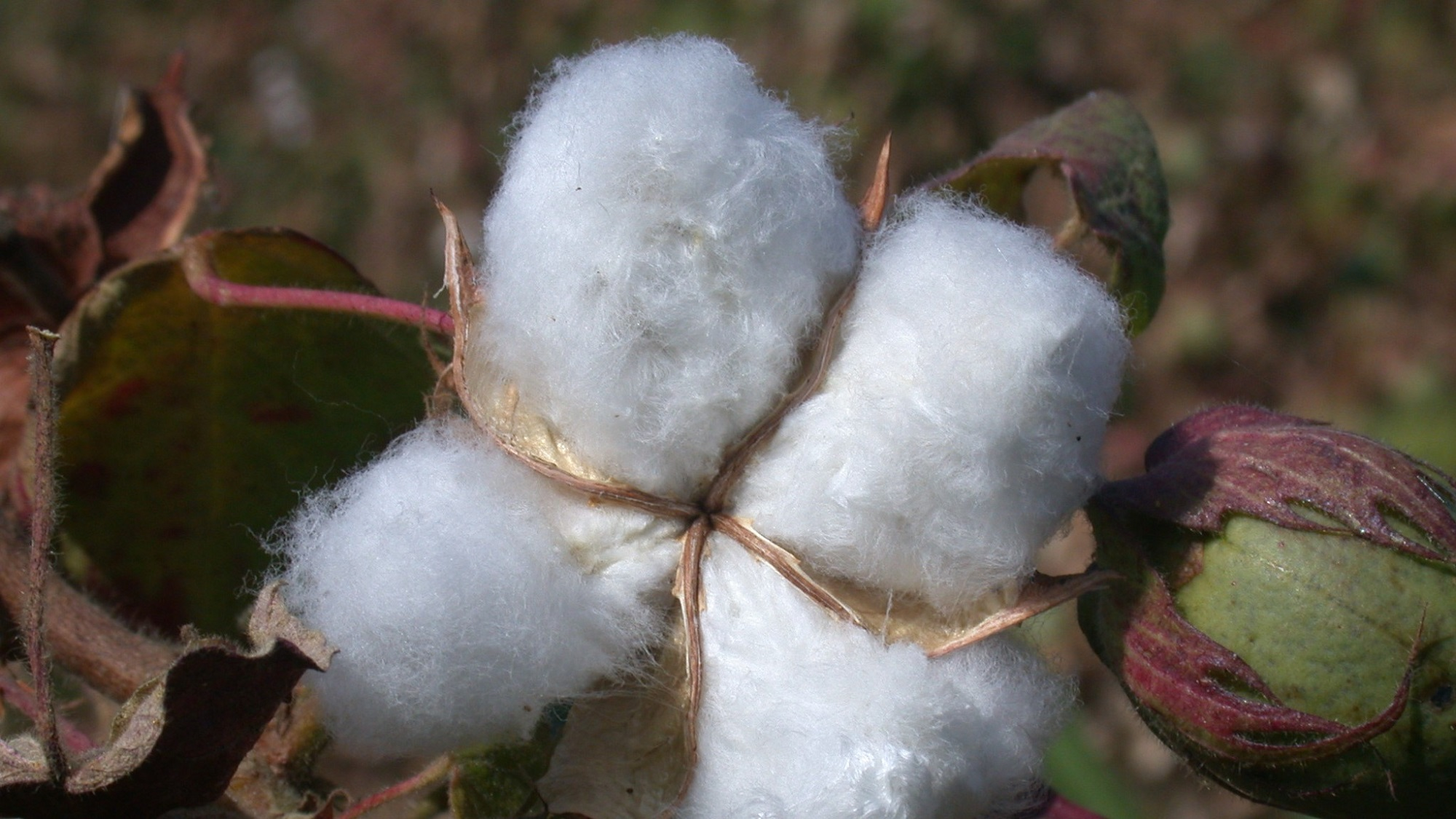 A cotton plant in Benin, West Africa