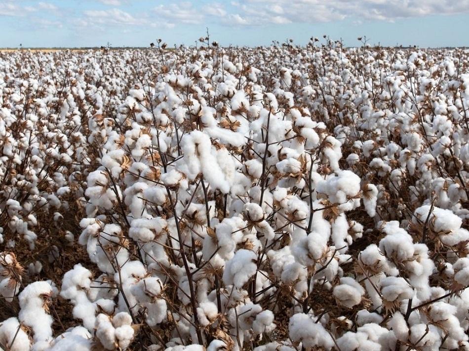 66% higher revenue on organic cotton