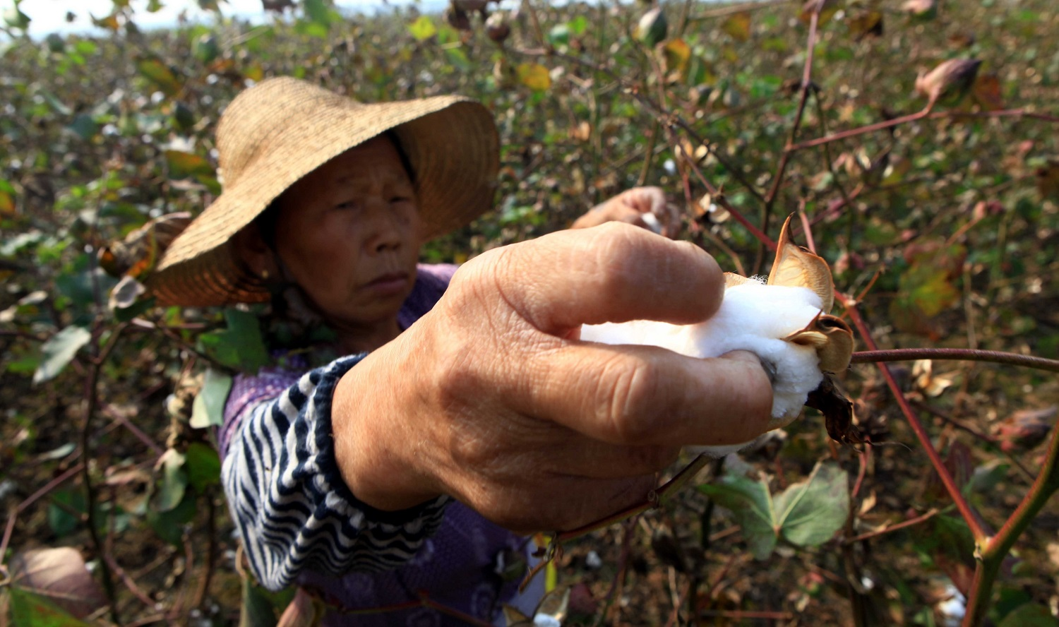 Chinese cotton picker working in field
