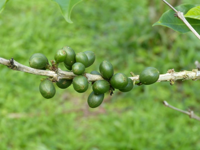 Making use of Beauveria biopesticides as part of IPM strategies for Coffee Berry Borer