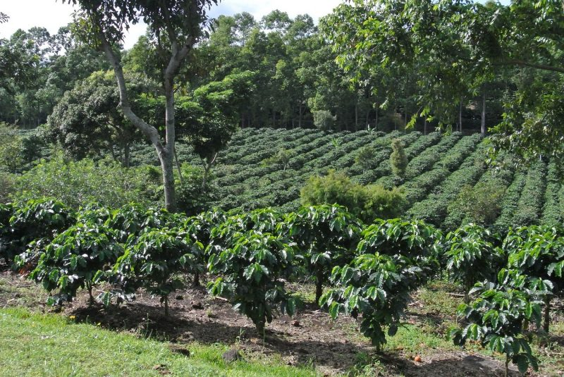 Risks of inappropriate use of glyphosate in coffee groves