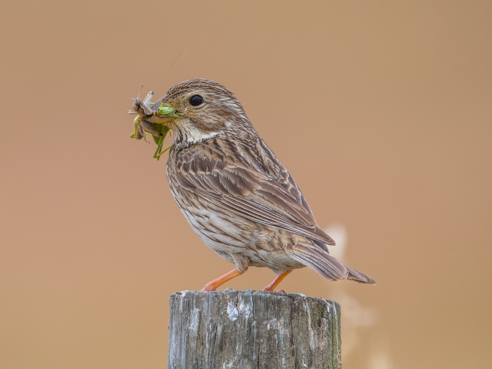 Corn bunting eating insects - Shutterstock