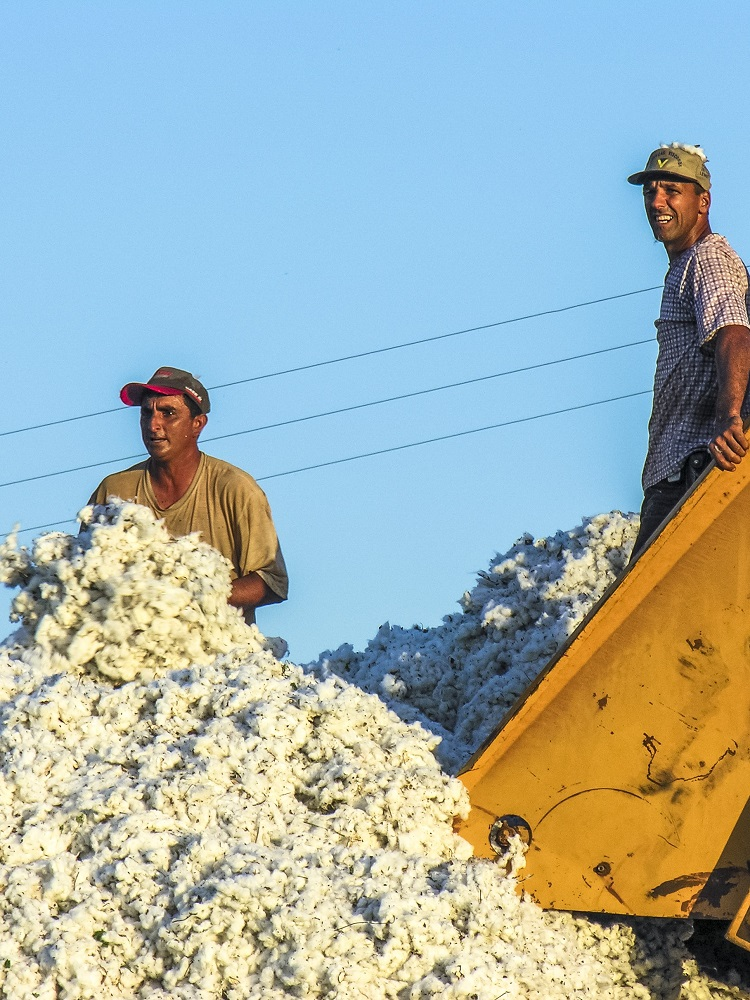 Cotton farming is the fourth largest agricultural user of pesticides