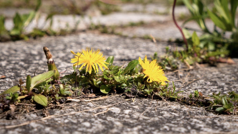 Dandelion on pavement - by Floki at Shutterstock