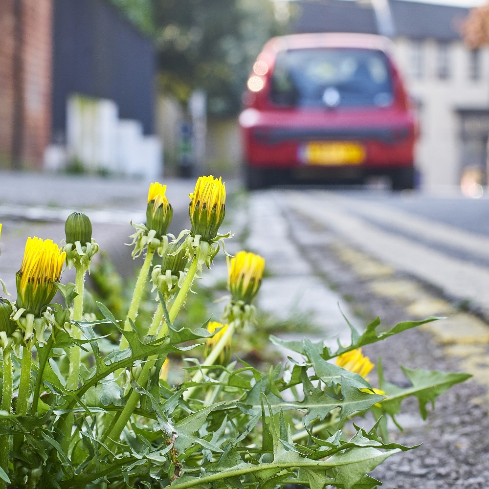 Dandelions are an important food source for pollinators in our urban spaces