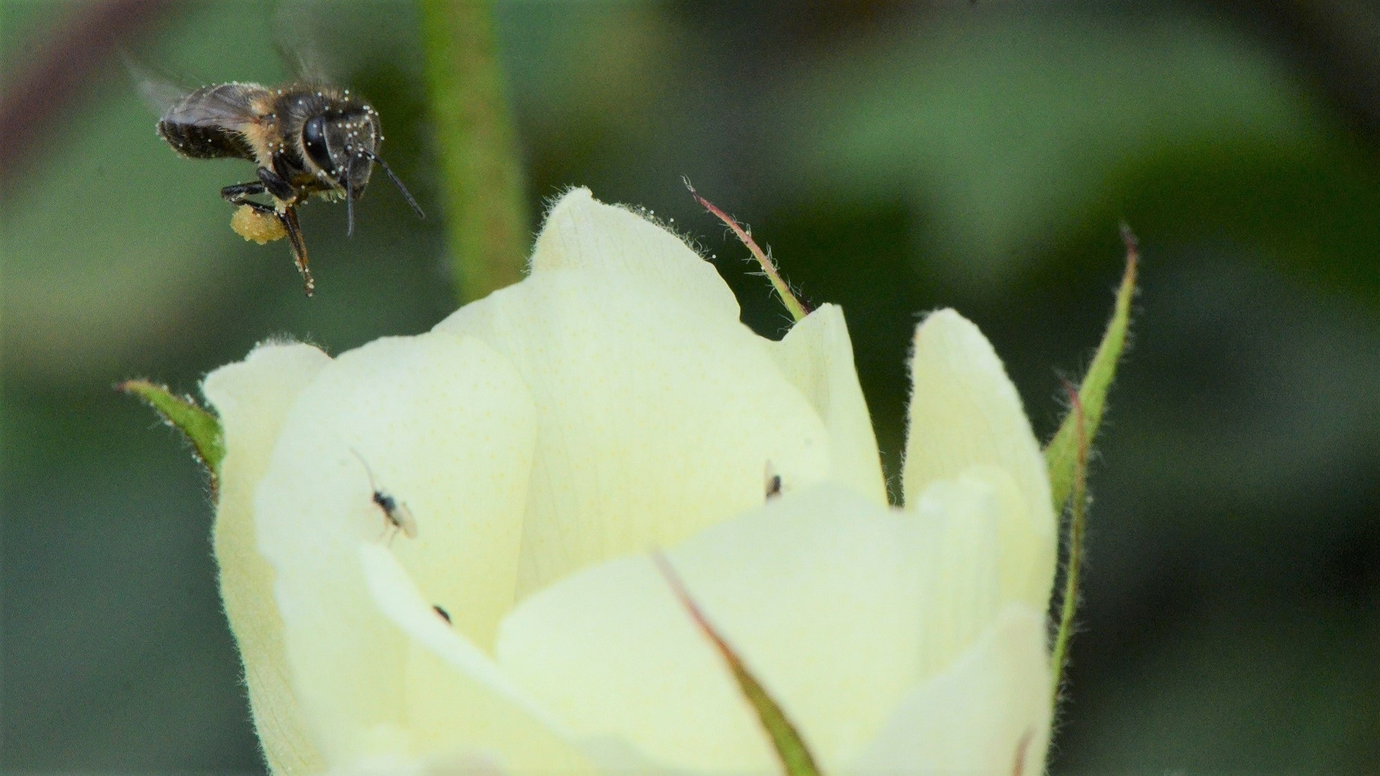 Bees are returning to Ethiopian cotton fields, providing extra income