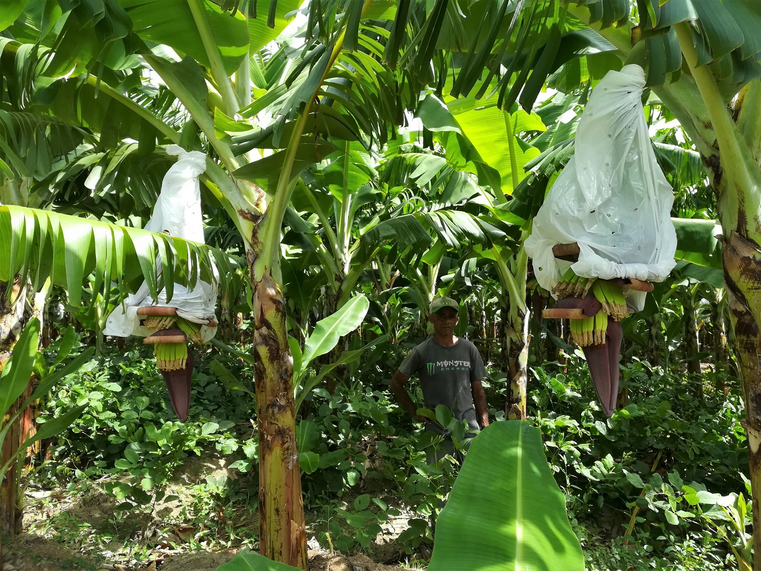 Ground cover plants between banana rows substantially reduce need for manual weeding
