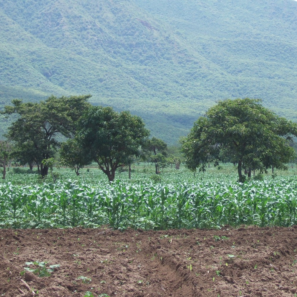 Trees within cotton and maize fields provide fruits, fodder for livestock and prunings that can be used for compost or mulch; smallholder farm, Ethiopia. PAN UK