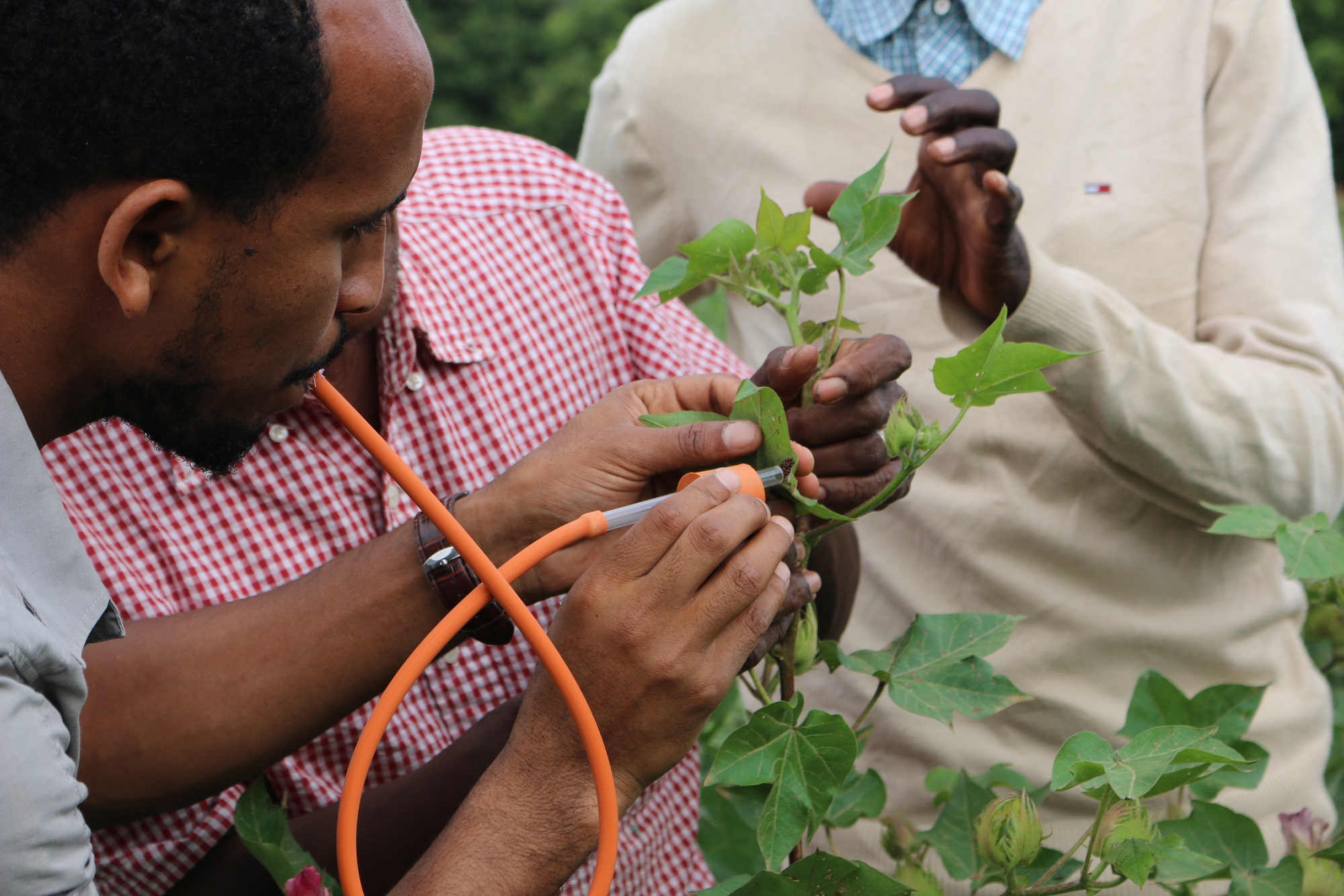 Cotton farmers in Ethiopia using Integrated Pest Management methods