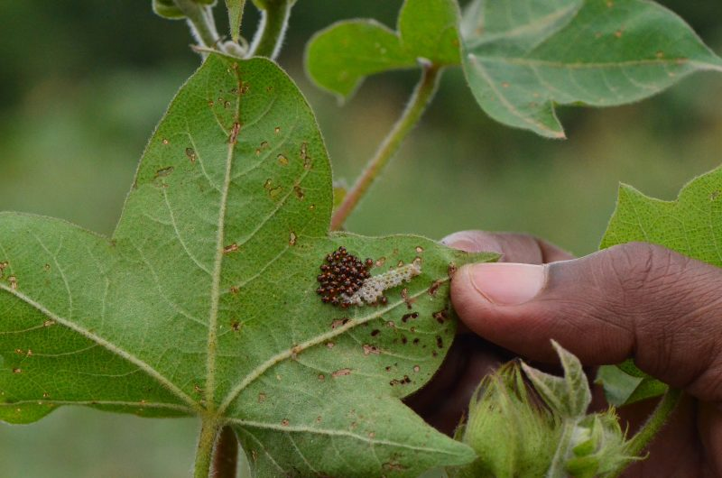 Cotton farmers in Ethiopia using Integrated Pest Management methods