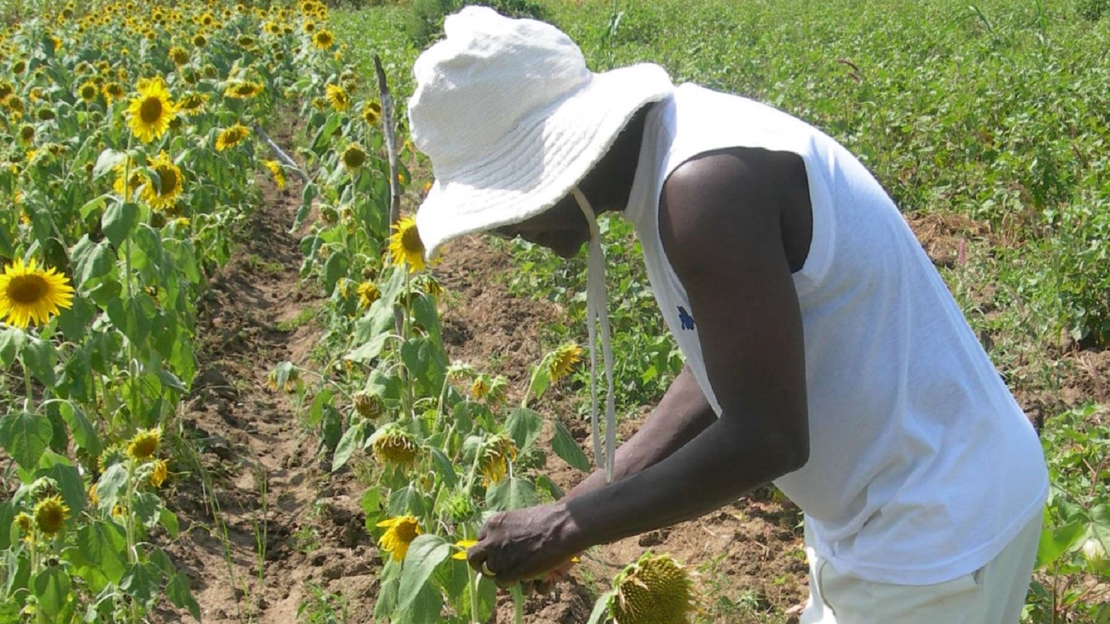 Rows of sunflowers planted among cotton as a trap crop for pests and refuge for natural enemies. Photo: OBEPAB