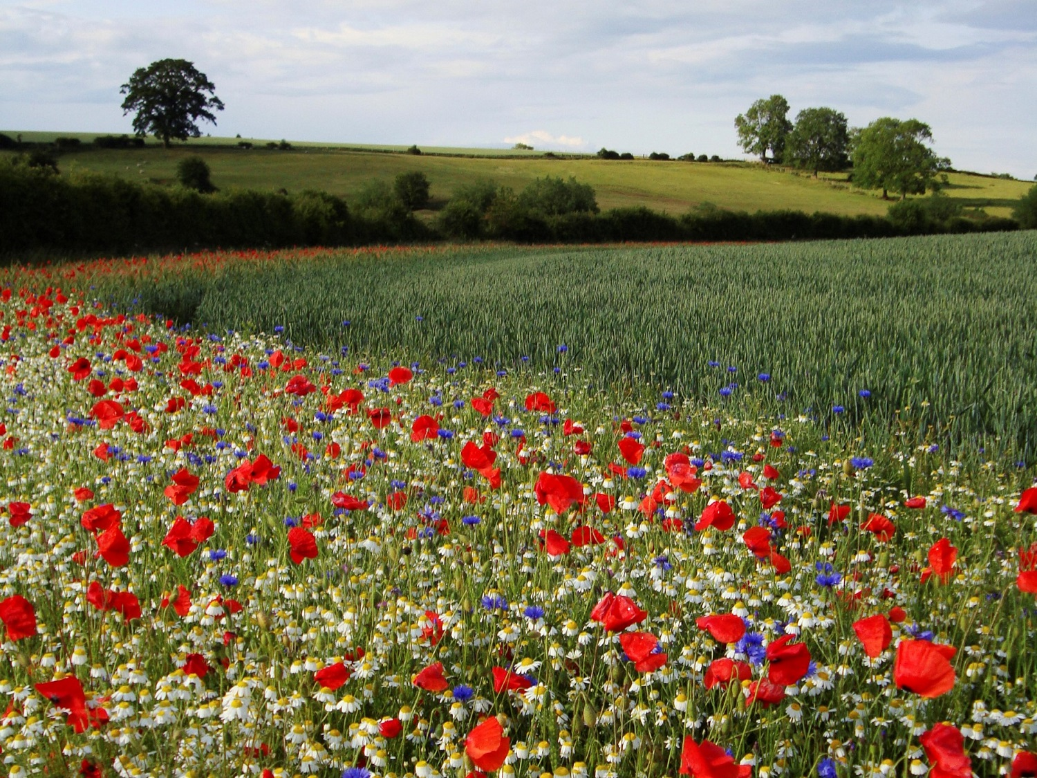 Nectar mix in field margin, Rectory Farm, Buckinghamshire by Colin Wilkinson (RSPB Images)