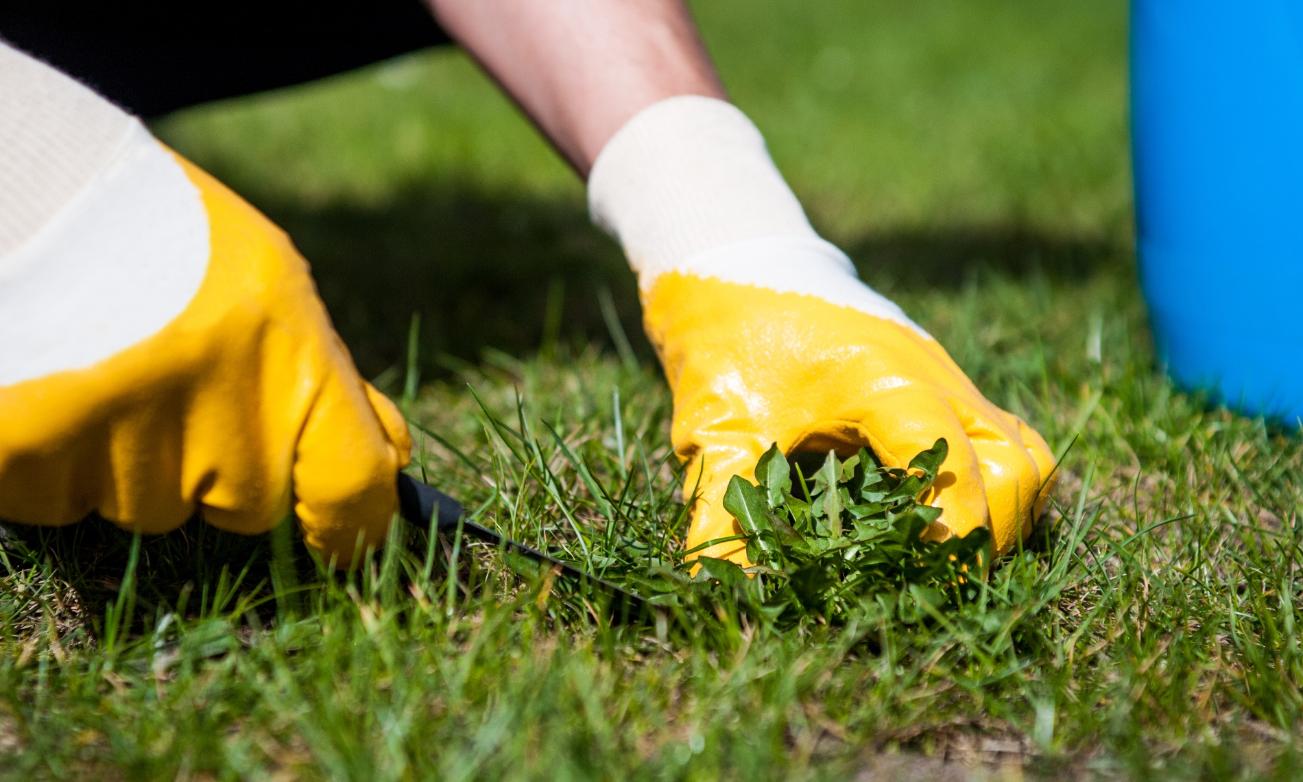 Manually remove weeds from the lawn