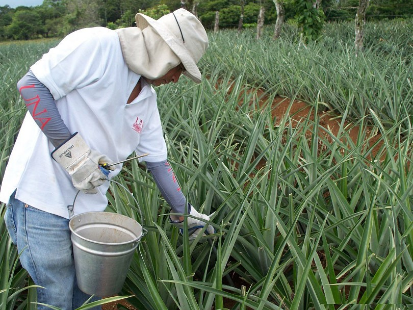 Phasing out highly hazardous pesticides in coffee and pineapple in Costa Rica