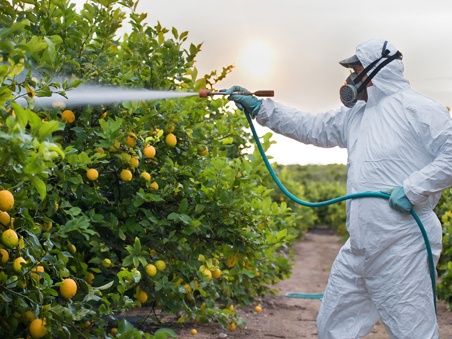 Spraying lemon trees with insecticide in Spain