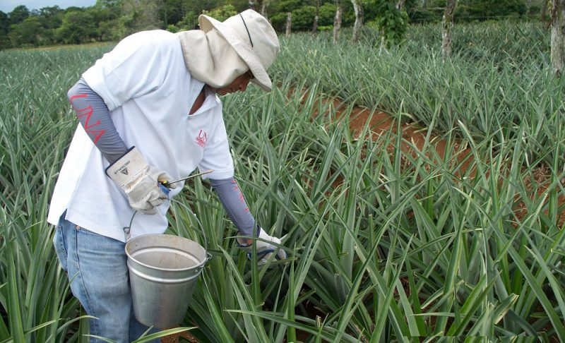 Project coordinator Fernando Ramírez collecting samples from trial plots on non-chemical alternatives to HH nematicide ethoprophos. Credit: IRET, Costa Rica
