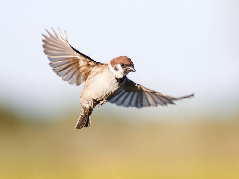 Farmland birds have suffered massive declines over the last few decades