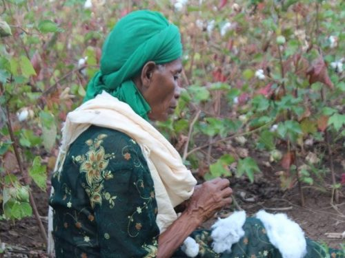 Wudinesh Koricho in her pesticide-free cotton field