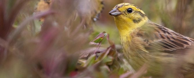 Yellowhammer foraging in field margin, Kent by by Jack Farrar (RSPB Images)