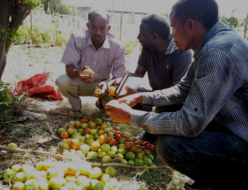 Supporting sustainable vegetable farming in Ethiopia