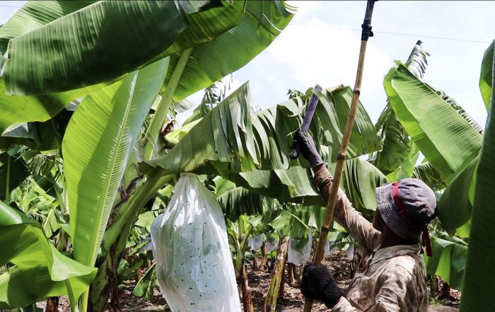A worker at Golden Exotics organic farm manually cutting banana leaves infected with the black sigatoka fungus. Credit: Banana Link
