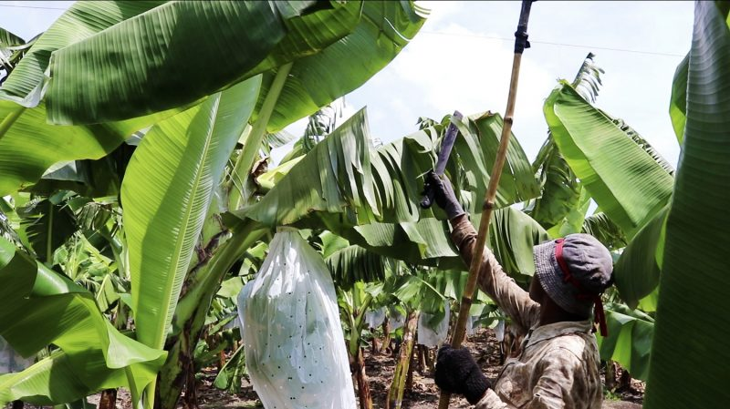 A worker at Golden Exotics organic farm manually cutting banana leaves infected with the black sigatoka fungus. Credit: Banana Link